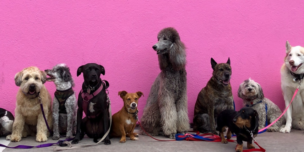 dogs lined up in front of a pink wall; article on what to do with too many clients