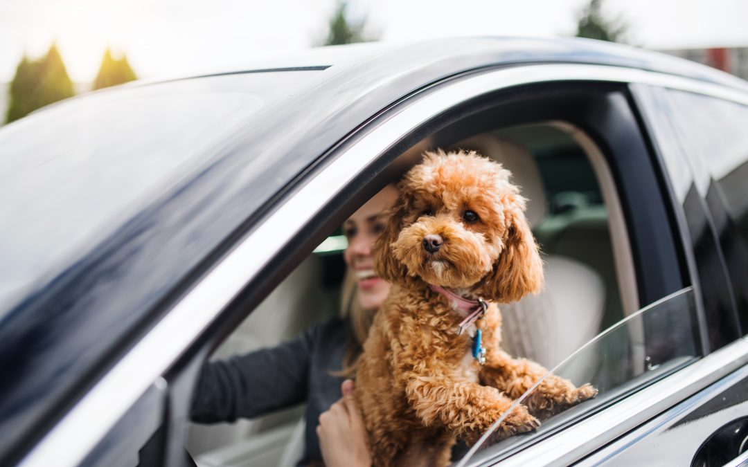 How to drive website traffic. Fluffy dog with head out the window sitting on owner's lap while she drives car.