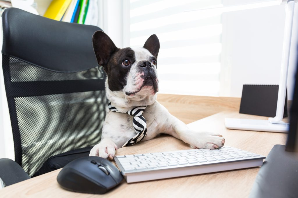 french bulldog sits at desk wearing tie doing social media management on computer